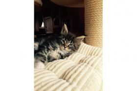 11 Wochen alte Maine Coon Kitten suchen ein neues zu Hause