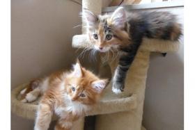 Foto 2 11 Wochen alte Maine Coon Kitten suchen ein neues zu Hause