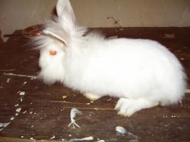 11 Wochen junge Kaninchen Dame sucht tierliebe Familie