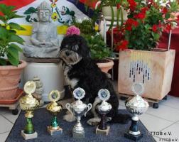 1A Tibet Terrier Deckrüde