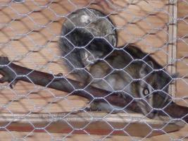 Foto 3 1Streifenhörnchen, 3Degus samt Käfig und Zubehör