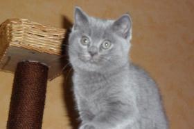 Foto 2 2 BKH Kätzchen in blau