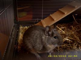 Foto 3 2 Degus ca. 16 Wochen alt