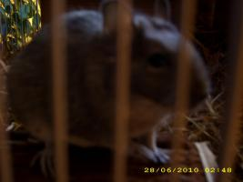 Foto 6 2 Degus ca. 16 Wochen alt