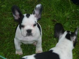 2 Französischen Bulldoggen Welpen suchen neue Familie
