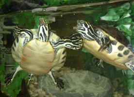 2 Klein Schildkröten + Aquarium