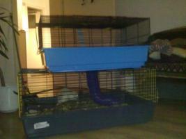 Foto 3 2 Männliche Ratten abzugeben!