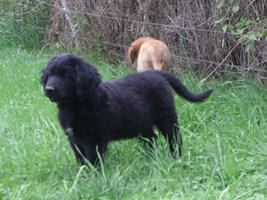 2 Rüden,12 Wo.junge Hundewelpen (Hovawart) suchen ein zu Hause