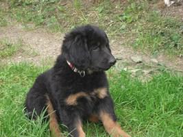 Foto 5 2 Rüden,12 Wo.junge Hundewelpen (Hovawart) suchen ein zu Hause