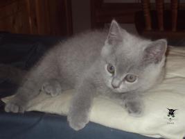2 Süße BKH Kitten abzugeben