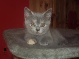 Foto 2 2 Süße BKH Kitten abzugeben