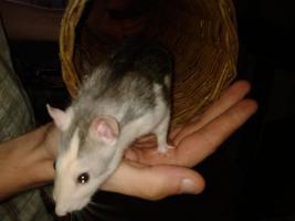 Foto 4 2 Super Süße Ratten