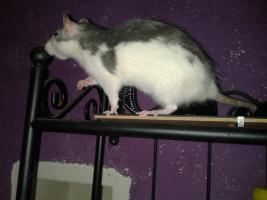 Foto 7 2 Super Süße Ratten