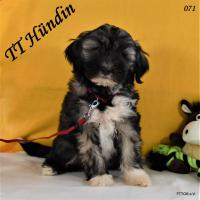 2 Tibet Terrier Welpen in der Farbe Zobel suchen eine neue Familie!