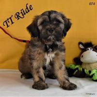 Foto 2 2 Tibet Terrier Welpen in der Farbe Zobel suchen eine neue Familie!
