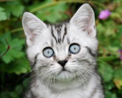 2 Whiskas- Kitten Silvertabby BKH abzugeben