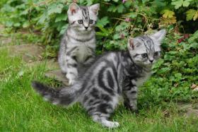 Foto 2 2 Whiskas- Kitten Silvertabby BKH abzugeben