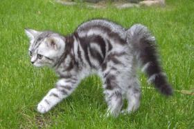 Foto 3 2 Whiskas- Kitten Silvertabby BKH abzugeben