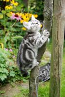 Foto 4 2 Whiskas- Kitten Silvertabby BKH abzugeben