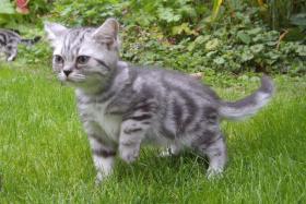 Foto 5 2 Whiskas- Kitten Silvertabby BKH abzugeben