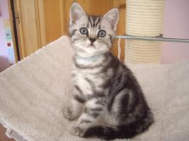 Foto 6 2 Whiskas- Kitten Silvertabby BKH abzugeben