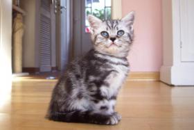 Foto 7 2 Whiskas- Kitten Silvertabby BKH abzugeben