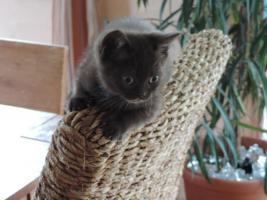 Foto 3 2 bkh kitten in chocolate mit Stammbaum abzugeben !