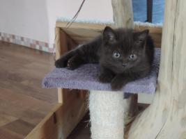 Foto 4 2 bkh kitten in chocolate mit Stammbaum abzugeben !