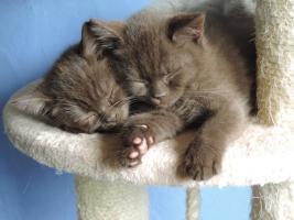 Foto 5 2 bkh kitten in chocolate mit Stammbaum abzugeben !