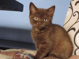 Foto 6 2 bkh kitten in chocolate mit Stammbaum abzugeben !