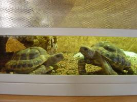 2 griechische Landschildkröten von 2004 mit Papieren abzugeben. Auch einzeln.