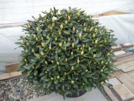 2 große schöne, gesunde, kräftige und dicht gewachsene Rhododendren Cunnighams White im 90 Liter Kübel in den Größen 115cm/130cm/130cm und 110cm/140cm/110cm