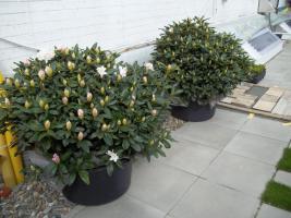 Foto 4 2 große schöne, gesunde, kräftige und dicht gewachsene Rhododendren Cunnighams White im 90 Liter Kübel in den Größen 115cm/130cm/130cm und 110cm/140cm/110cm