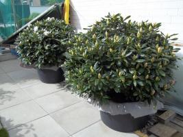 Foto 5 2 große schöne, gesunde, kräftige und dicht gewachsene Rhododendren Cunnighams White im 90 Liter Kübel in den Größen 115cm/130cm/130cm und 110cm/140cm/110cm