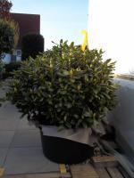 Foto 6 2 große schöne, gesunde, kräftige und dicht gewachsene Rhododendren Cunnighams White im 90 Liter Kübel in den Größen 115cm/130cm/130cm und 110cm/140cm/110cm
