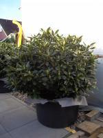 Foto 7 2 große schöne, gesunde, kräftige und dicht gewachsene Rhododendren Cunnighams White im 90 Liter Kübel in den Größen 115cm/130cm/130cm und 110cm/140cm/110cm