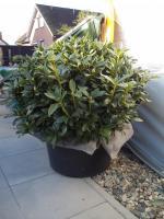 Foto 11 2 große schöne, gesunde, kräftige und dicht gewachsene Rhododendren Cunnighams White im 90 Liter Kübel in den Größen 115cm/130cm/130cm und 110cm/140cm/110cm