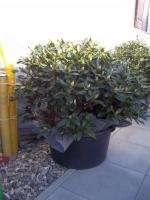 Foto 12 2 große schöne, gesunde, kräftige und dicht gewachsene Rhododendren Cunnighams White im 90 Liter Kübel in den Größen 115cm/130cm/130cm und 110cm/140cm/110cm