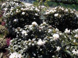 Foto 15 2 große schöne, gesunde, kräftige und dicht gewachsene Rhododendren Cunnighams White im 90 Liter Kübel in den Größen 115cm/130cm/130cm und 110cm/140cm/110cm