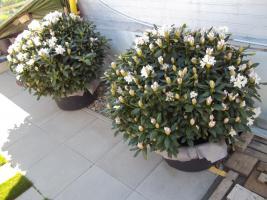 Foto 16 2 große schöne, gesunde, kräftige und dicht gewachsene Rhododendren Cunnighams White im 90 Liter Kübel in den Größen 115cm/130cm/130cm und 110cm/140cm/110cm