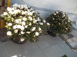 Foto 17 2 große schöne, gesunde, kräftige und dicht gewachsene Rhododendren Cunnighams White im 90 Liter Kübel in den Größen 115cm/130cm/130cm und 110cm/140cm/110cm