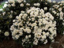 Foto 18 2 große schöne, gesunde, kräftige und dicht gewachsene Rhododendren Cunnighams White im 90 Liter Kübel in den Größen 115cm/130cm/130cm und 110cm/140cm/110cm