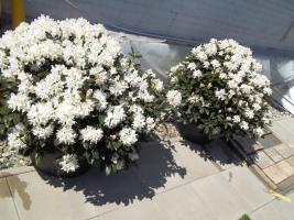 Foto 20 2 große schöne, gesunde, kräftige und dicht gewachsene Rhododendren Cunnighams White im 90 Liter Kübel in den Größen 115cm/130cm/130cm und 110cm/140cm/110cm