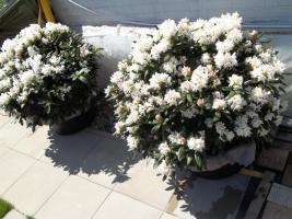 Foto 21 2 große schöne, gesunde, kräftige und dicht gewachsene Rhododendren Cunnighams White im 90 Liter Kübel in den Größen 115cm/130cm/130cm und 110cm/140cm/110cm