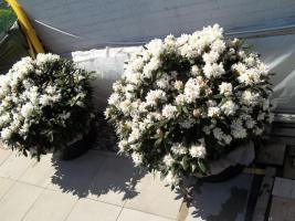 Foto 22 2 große schöne, gesunde, kräftige und dicht gewachsene Rhododendren Cunnighams White im 90 Liter Kübel in den Größen 115cm/130cm/130cm und 110cm/140cm/110cm