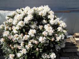 Foto 23 2 große schöne, gesunde, kräftige und dicht gewachsene Rhododendren Cunnighams White im 90 Liter Kübel in den Größen 115cm/130cm/130cm und 110cm/140cm/110cm