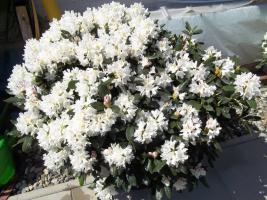 Foto 24 2 große schöne, gesunde, kräftige und dicht gewachsene Rhododendren Cunnighams White im 90 Liter Kübel in den Größen 115cm/130cm/130cm und 110cm/140cm/110cm
