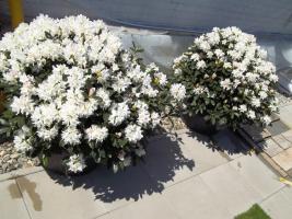Foto 25 2 große schöne, gesunde, kräftige und dicht gewachsene Rhododendren Cunnighams White im 90 Liter Kübel in den Größen 115cm/130cm/130cm und 110cm/140cm/110cm