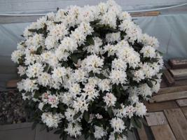 Foto 26 2 große schöne, gesunde, kräftige und dicht gewachsene Rhododendren Cunnighams White im 90 Liter Kübel in den Größen 115cm/130cm/130cm und 110cm/140cm/110cm