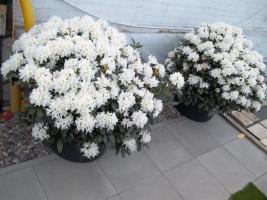 Foto 27 2 große schöne, gesunde, kräftige und dicht gewachsene Rhododendren Cunnighams White im 90 Liter Kübel in den Größen 115cm/130cm/130cm und 110cm/140cm/110cm